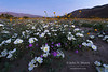 Dune evening primrose and other spring wildflowers at sunrise in Anza-Borrego Desert State Park, California.