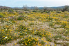A field of yellow wildflowers in southern Joshua Tree National Park.