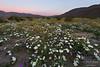 Wildflowers at sunrise in Anza-Borrego Desert State Park, California.