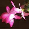 Lobster Cactus blossom
