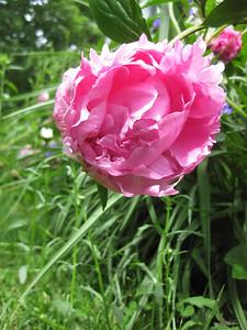 blowsy pink peony