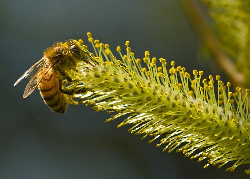 Perhaps my favorite bee shot so far -- I like the slight backlighting effect.