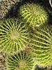 Four Cactus 1
