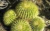 Four Cactus 2