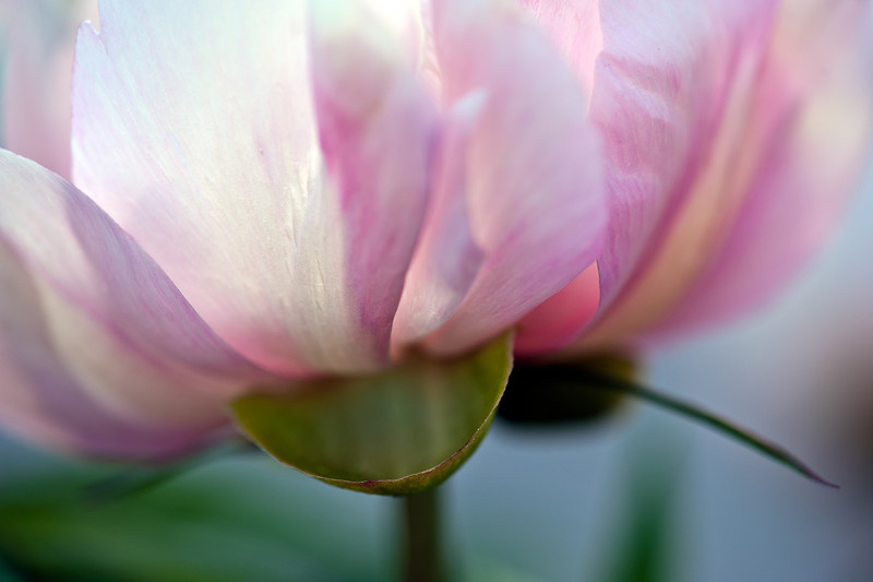 Spring Peony' Nosegay'