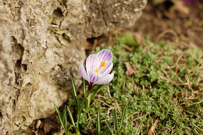 Krokusbluete / Crocus bloom