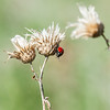 Thistle Seed Heads and Lady Bug