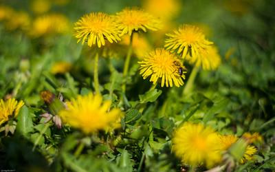 Löwenzahnwiese / dandelion flowers