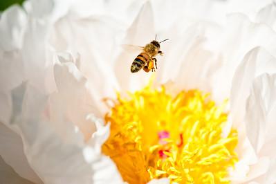 Busy Honey Bee laden with pollen.
