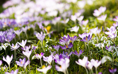 """Brüder zur Sonne zur Freiheit..."" / ""Crocus, unite for the battle..."""
