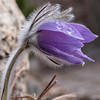 Prairie Crocus ;  a first Garden Flower here in our Calgary Garden.