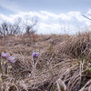 Prairie Crocus in Prairie Grasses.