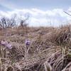 Prairie Crocus in Prairie Grasses.