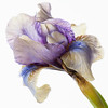 High Key Image of  Spring Iris .