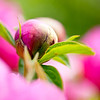 Spring Peony 'Nosegay' - flower bud
