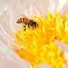 Busy Hone Bee