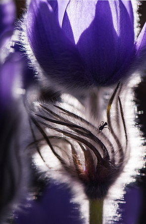 Macro Image of Prairie Crocus with a surpring Ant!