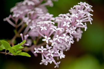Spring Meyer Lilac