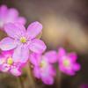 Spring Hepactica nobilis 'Rose Elite', Braun Garden