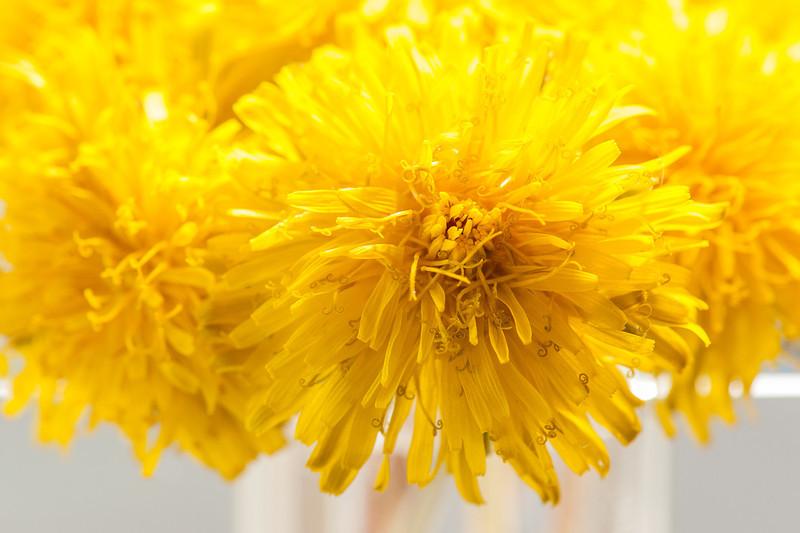 Macro Image of a Dandelion Bouquet