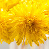 Macro Image of a Dandelion Bouquet