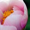 Spring Peony 'Nosegay'