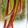 In the Vase - Dandelions. Colorful Red Stems.