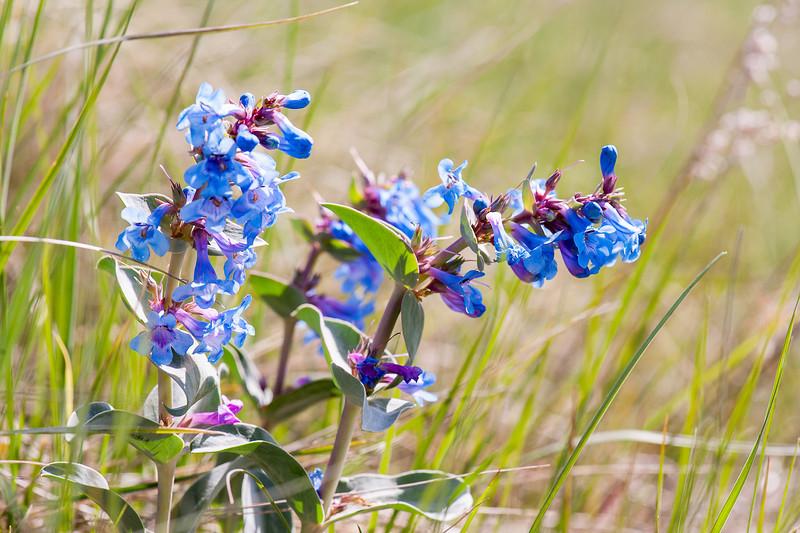 Alberta Spring Wildflower - Prairie Pentstamen
