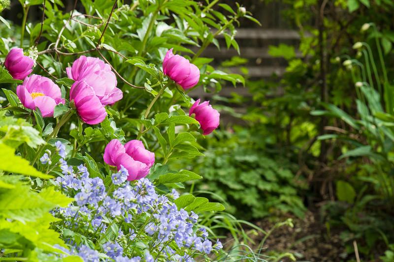 Species Peony Blooms in Rundle WoodGardens, Calgary.