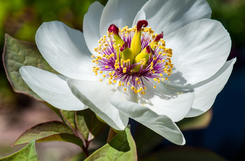 the Very Gorgeous Species Peony - Peony oblavata alba