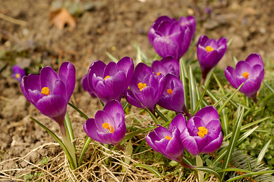 Krokus in Lila / Purple crocus