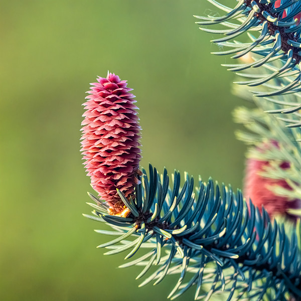 The Pink Female Cone of a Colorado Blue Spruce Tree - Picea Pungens