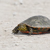 A small painted turtle was crawling across the road.