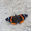 Red Admiral on road