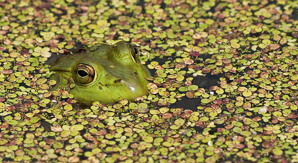 Fishing Pond - Frog, Dragons June, July 2009
