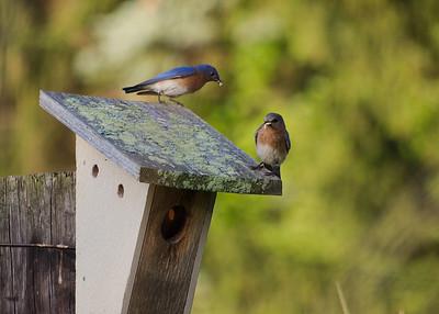 Squire Valleevue Farm Summer Birds