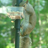 I put those out for the blue jays, but the squirrel thinks they are his