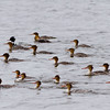 Red-Breasted Mergansers (1 male, 17 female)