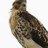 Hawks in Compton Heights-2240