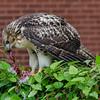 Hawk eats pigeon 060413 -6