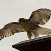 Hawks in Compton Heights-2248