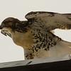 Hawks in Compton Heights-2224