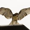 Hawks in Compton Heights-2229