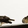 Hawks in Compton Heights-2223