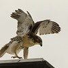 Hawks in Compton Heights-2230