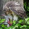 Hawk eats pigeon 060413 -5