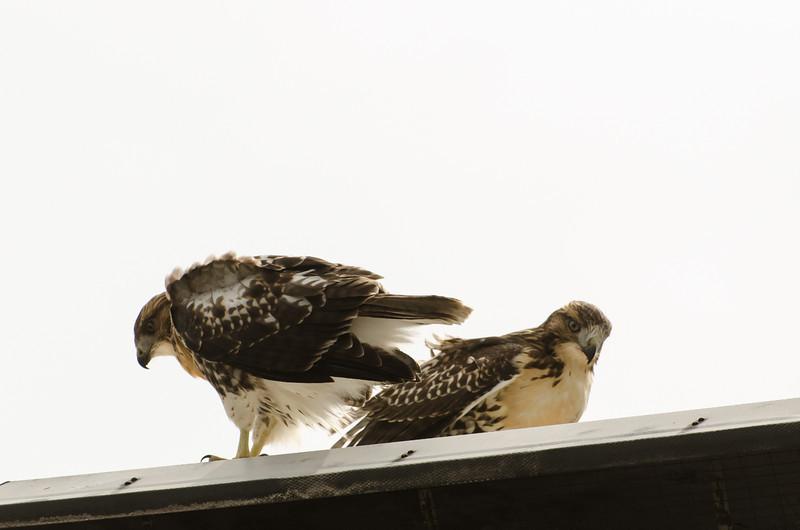 Hawks in Compton Heights-2222