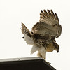 Hawks in Compton Heights-2231