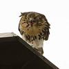 Hawks in Compton Heights-2168