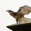 Hawks in Compton Heights-2203